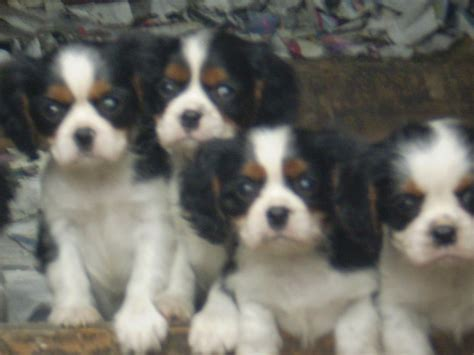 teacup cavalier king charles spaniel puppies for sale cavalier king charles spaniel puppies for sale rushden northtonshire pets4homes
