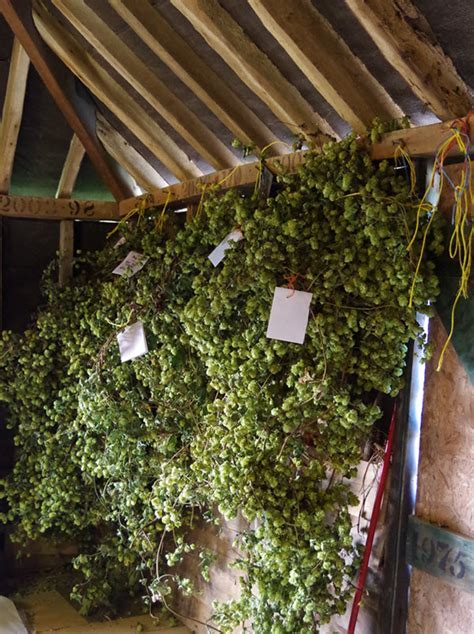 Hops for Decoration   A Bushel of Hops