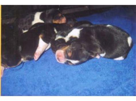 basset hound puppies for sale in iowa basset hound puppies in iowa