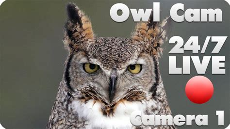 great horned owl live cam 1 youtube