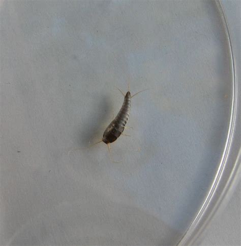 silverfish in bathroom insects in colorado