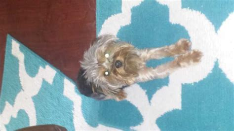 yorkie puppies for sale in beaufort sc dogs puppies page 71 for sale ads free classifieds