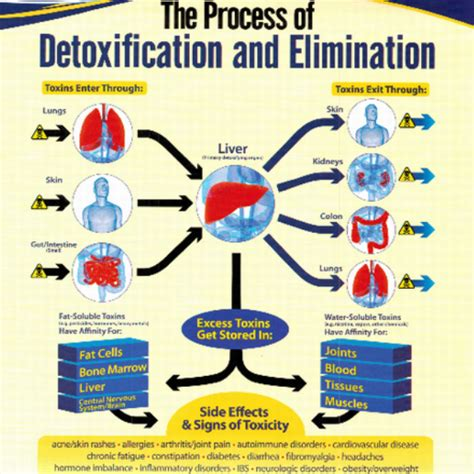 Human Detox System by The Importance Of Detoxification A System Overview Bee