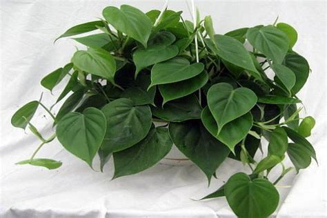 common house plant with shaped leaves sweetheart plant a shaped leafy climber