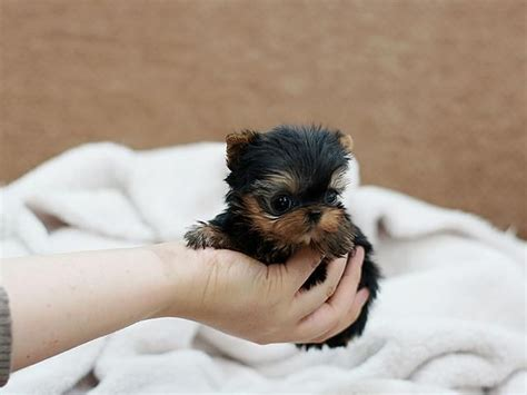 yorkie puppies for sale in milwaukee wi registered t cup yorkie puppies available for re homing animals milwaukee