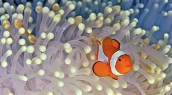 la chachipedia el pez payaso apexwallpaperscom todo lo que necesitas saber sobre el pez payaso