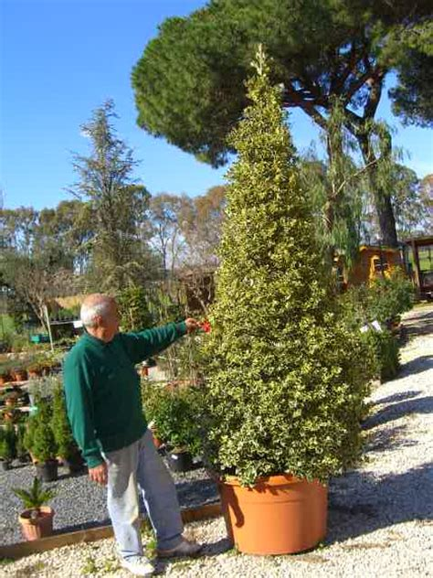armeni giardini vivaio vasta esposizione e disponibilita piante di natale