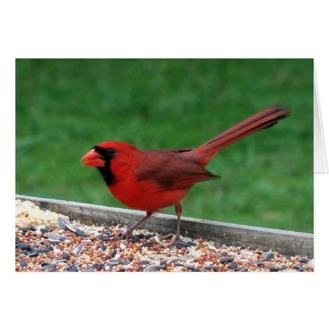 north american red cardinal bird wildlife card art zazzle