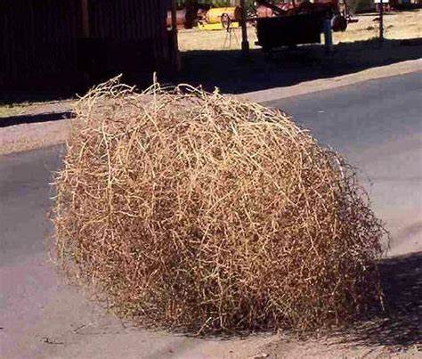 Image result for Tumbleweeds