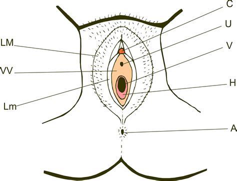 external female reproductive system diagram external part of female reproductive system diagram body