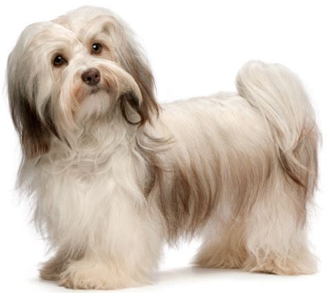 havanese hair small hypoallergenic dogs
