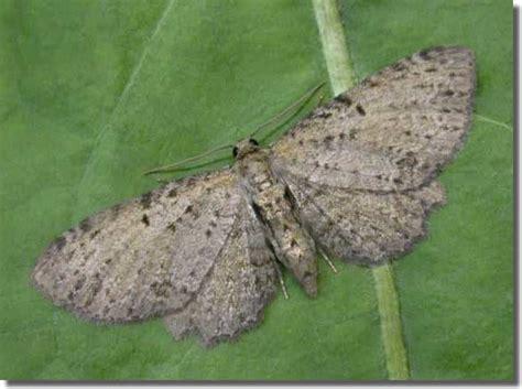 pug scientific name anticollix sparsata dentated pug moth