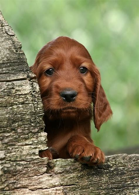 setter dog puppy 65 most adorable and cute irish setter puppies pictures