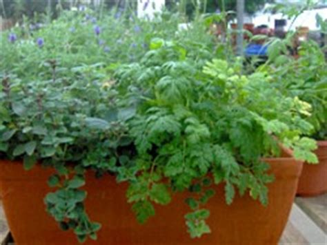 growing herbs indoors from seeds edible landscaping how to grow herbs from seed garden org