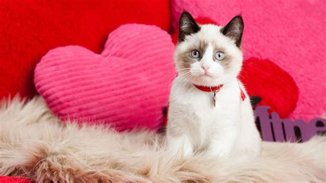 cat valentines valentine s day with your cat cat daily news