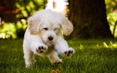 wallpapers for desktop cute puppies 50 cute dogs wallpapers dog puppy desktop wallpapers