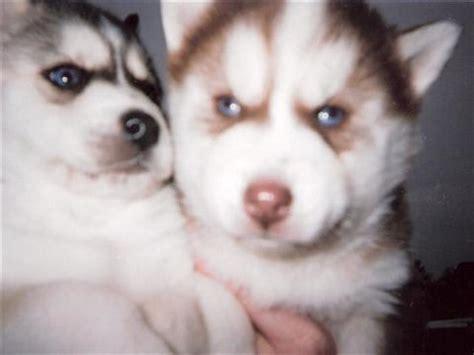 pomsky puppies for adoption pomsky rescue puppies related keywords pomsky rescue puppies keywords