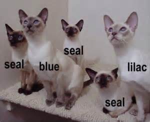 siamese cat colors siamese purrr