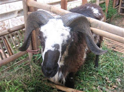 Budidaya Usaha Pengolahan Agribisnis Ternak Domba prospek usaha budidaya domba garut apa bisnis ternak