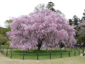 cherry trees all amazing facts