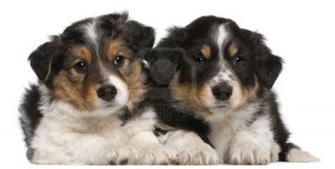 tricolor border collie puppy border collie puppies tri color animals
