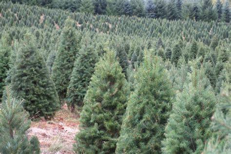how to plant christmas tree farm how to grow a tree farm beatiful tree