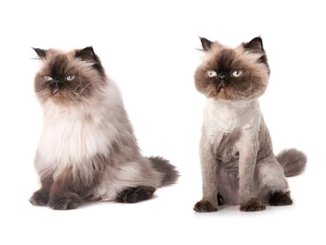 before and after cat haircuts view source image pet grooming before after