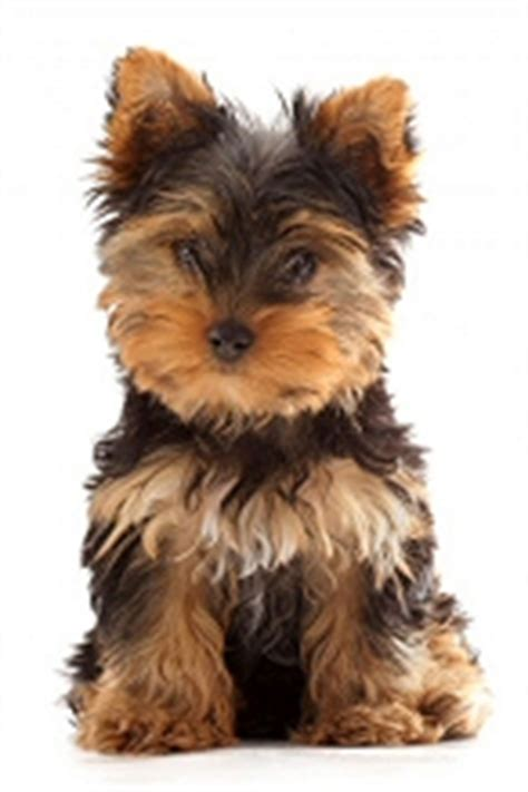best names for yorkies terrier names yorkie names