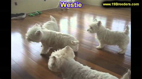westie puppies mn westie puppies for sale in minneapolis minnesota mn inver grove heights