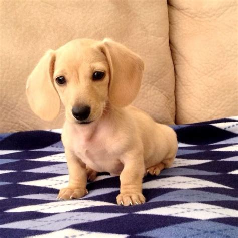 teacup dachshund puppies teacup dachshund puppies breeds picture
