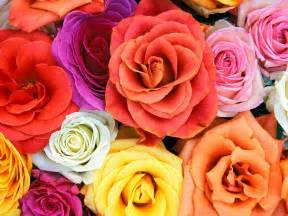 meaning of colored roses color meanings flowers beautiful scenery photography