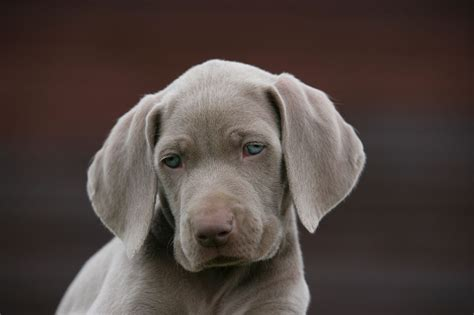 this puppy one beautifull weimaraner puppies sutton coldfield west midlands pets4homes