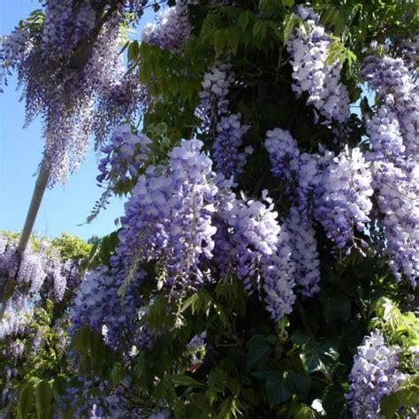 chinese wisteria wisteria sinensis chinese blue wisteria wisteria sinensis 10 seeds