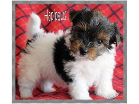 biewer yorkie puppies for sale alberta a biewer terrier puppies breeds picture