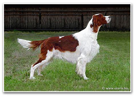 hungarian setter dog red and white irish setter in hungary