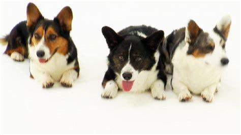 dogs 101 corgi cardigan corgi