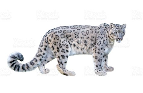 snow leopard promotion shop for promotional cartoon snow leopard snow leopard white background stock photo istock