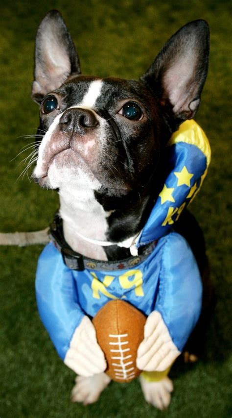 boston terrier puppies denver colorado news a boston terrier will represent the patriots at westminster show