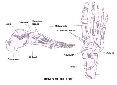 foot diagram printable diagrams of the foot diagram site