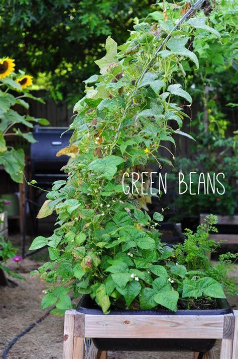 Veggie Garden Arch Diy Garden Green Beans On Trellis Learn About A New Way