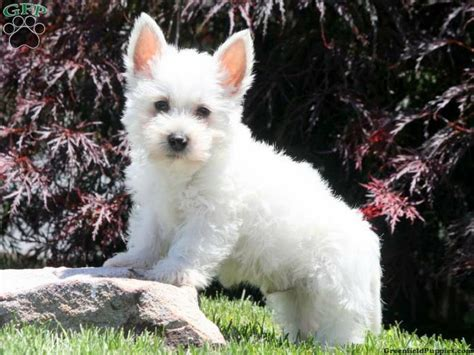 westie puppies for sale in pa 17 best images about west highland terrier westie on valentines white