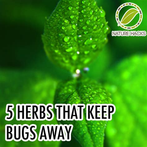 5 herbs that keep bugs away