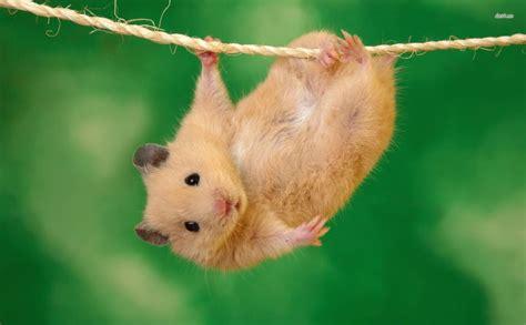 X Bamester Hanging Hamster 1920x1080 Hd Wallpaper
