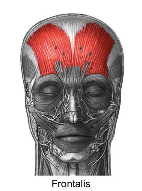 Frontalis Frontalis Muscle Origin Insertion Action