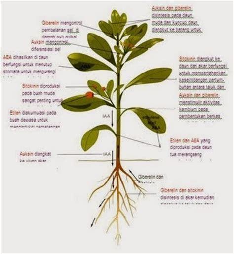 Zpt Hormon Tanaman zat pengatur tumbuh seputar kultur jaringan dan pertanian