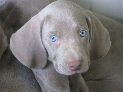 amish puppies for sale alpine weims weimaraner breeder sugarcreek ohio