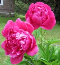 pink peonies hot pink peonies by coffeecoloredeyes on deviantart