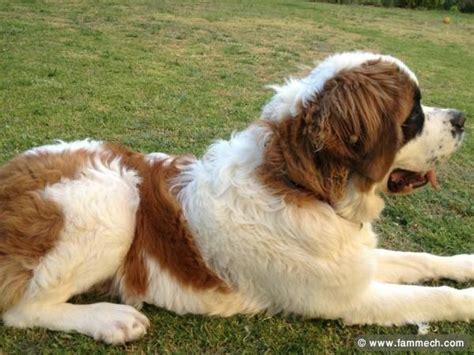 Bonnes Affaires Tunisie Animaux chien a vendre saint bernard