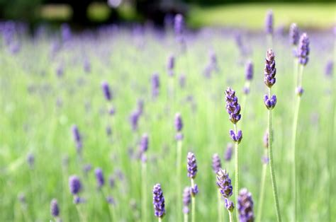 Madika Lavender not far from the tree