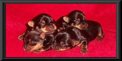 yorkie puppies kansas yorkie puppies for sale akc blumoon yorkies yorkie puppies view yorky puppies yorkie